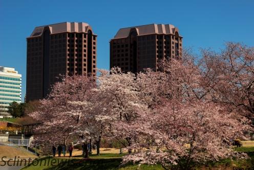 Blossoms of Richmond