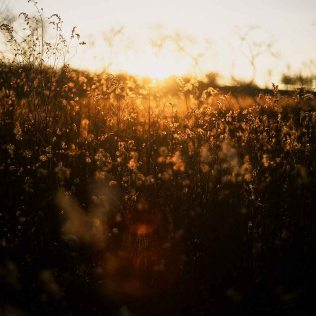 Golden Time in the Grass