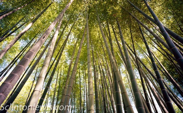 Bamboo at Temple